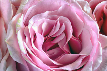 Beautiful background. A close-up photo, a blooming pink rose.