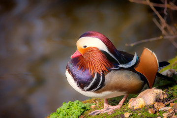 Sexual selection. Art of nature. Beautiful male Mandarin duck bird plumage.