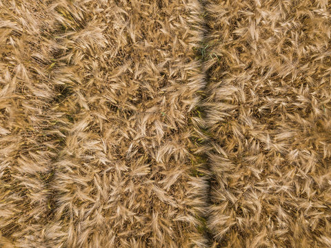 Aerial view of wheat field with plant texture