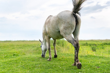 Mare grazing on the pasture, waving his tail and flies away from himself, rear view, countryside Wall mural