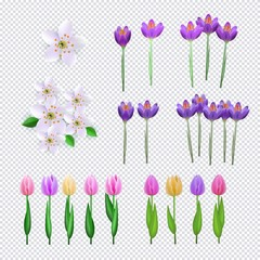 Spring flowers set on transparent background consisting of fresh crocus, cherry or apple blossoms and colorful tulips - decorative elements for your design in cartoon vector illustration.