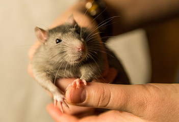 young gray rat looks with surprise sits on the hands of focus on the head of an animal