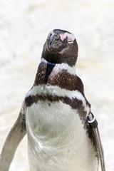 Magellanic Penguin Portrait. The Magellanic penguin (Spheniscus magellanicus) is a South American penguin, breeding in coastal Argentina, Chile and the Falkland Islands.