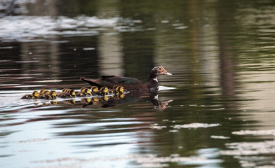 Mother and Baby Muscovy ducklings Cairina moschata
