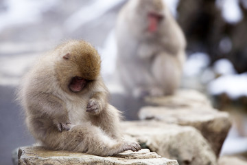 A baby snow monkey grooming itself alongside a warm thermal spring in Japan