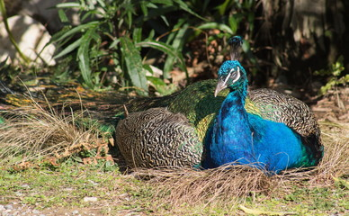 The Indian peafowl or blue peafowl (Pavo cristatus), a large and brightly coloured bird, is a species of peafowl native to South Asia