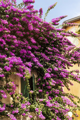 Pink Bougainvillea Flowers on the Wall of  Italian  House.Beautiful Facade of a House in Italy