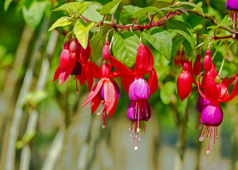 Close up of red purple fuchsia flower in botanical garden