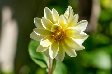 Jeune dahlia jaune dans le jardin