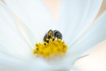 Cette abeille butine le nectar et pollenise la fleur Cosmos. Gros plan sur fond clair