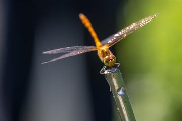 La belle libellule jaune de Parigné vue de face