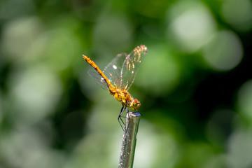 Une jeune libellule jaune de Parigné fait la belle
