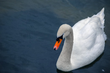 Beautiful white swan swimming on River Coln in Gloucestershire, England
