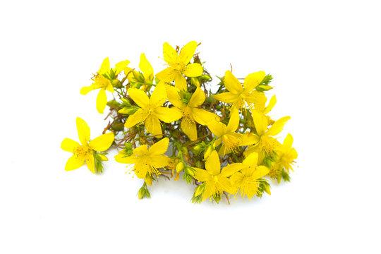 St John's wort, yellow blossom of tutsan bush, herbal medicinal Hypericum perforatum plant, isolated on white background