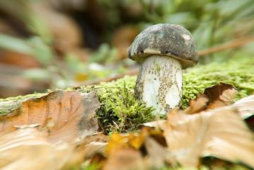 Il piccolo fungo porcino,cresciuto nel muschio