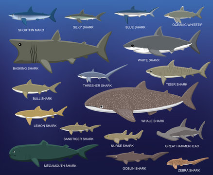 Big Shark Size Comparison Cartoon Vector Illustration