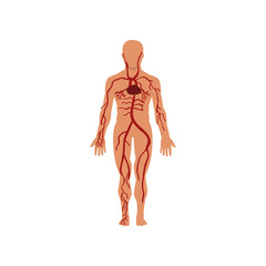 Human circulatory system, anatomy of human body vector Illustration on a white background