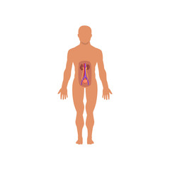 Human excretory system, anatomy of human body vector Illustration on a white background