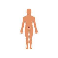 Male sexual system, anatomy of human body vector Illustration on a white background