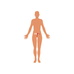 Female sexual system, anatomy of human body vector Illustration on a white background