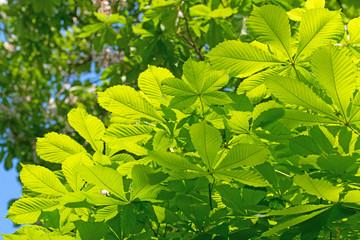 Blätter der gewöhnlichen Rosskastanie
