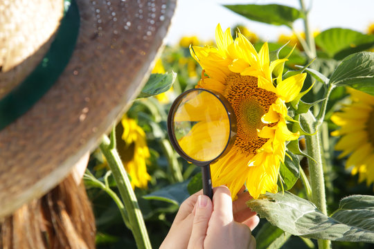 Young farmer or agronomist woman examine the sunflower field with magnifying glass