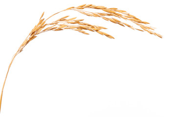 Paddy rice on white background. ears of paddy rice