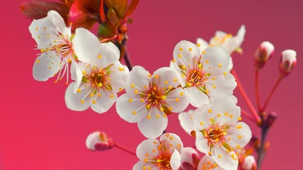 Fotoväggar - Cherry tree flowers blossoming time lapse, extreme closeup. 4K UHD video 3840X2160