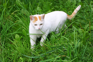 Cat sneaks on the green grass.