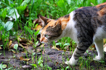 Cat with a tricolor coat color on the hunt.