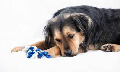Hund liegt traurig auf weißen Untergrund