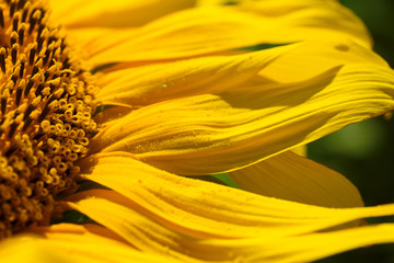 sunflower petals macro photo / abstract background image with blur