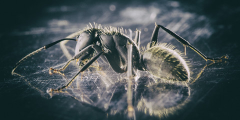 Monochrome photograph of a black garden ant, closeup