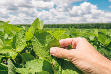 Farm worker controls development of soybean plants