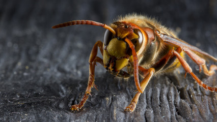 Huge European Hornet. Dangerous predatory insect. Close-up.