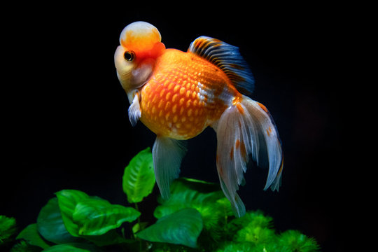 """Beautiful and elegant goldfish floats in aquarium with green plants and stones, closeup, named """"Calico Crown Pearlscale goldfish"""""""