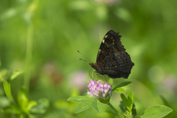 beautiful macro closeup, butterfly sitting on a flower in a green grass in the middle of a sunny day, collecting pollen