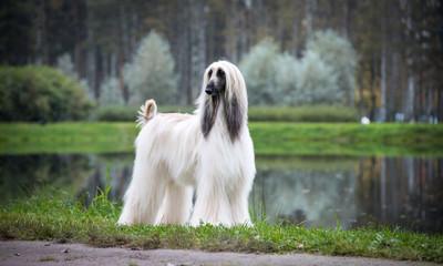 Autumn Afghan hound, lake mist, beautiful pedigree dog on the background of the lake