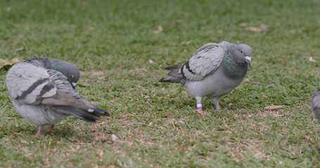 Rock dove on grass