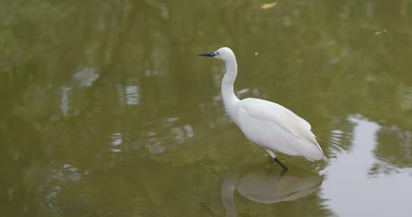 Little egret in lake