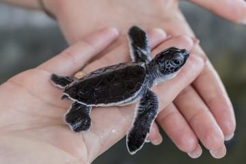 Schwarze Baby Schildkröte auf Händen