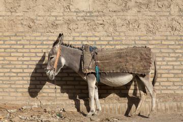 Donkey in Qale No, Sistan and Baluchistan, Iran