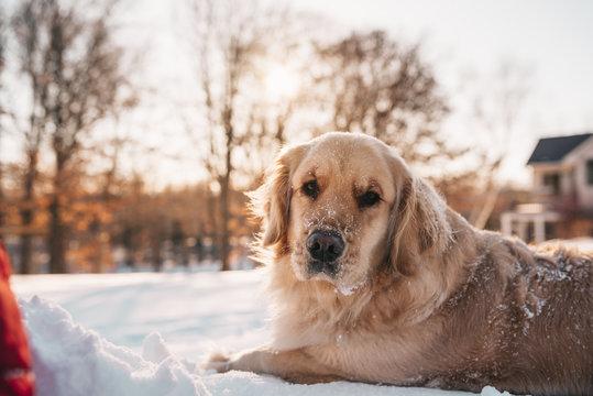 Golden retriever dog lying in the snow