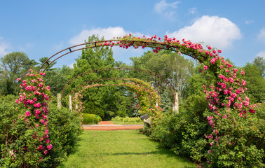 "Rose ""Dorothy Perkins"" blooms on the arches in Elizabeth Park"