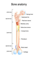 Structure of a Long Bone.