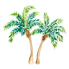Palm tree isolated on white background.  Watercolor illustration.