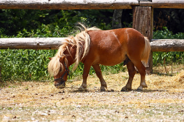 Brown little horse