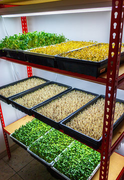 Urban Farming Microgreens growing rack organic sprout trays