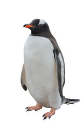 Gentoo penguin isolated on white