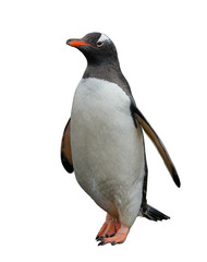 Gentoo penguin isolated on white